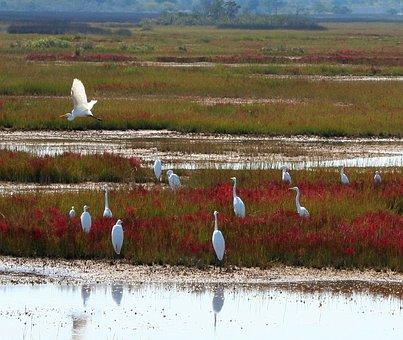 Great White Herons, Marsh, Bog, Island, Swamp, Maryland