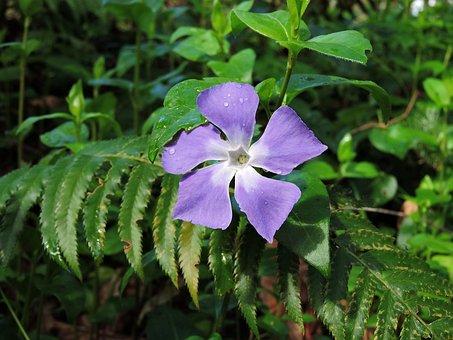 Vinca, Wild, Nature, Plant, Periwinkle, Spring, Purple