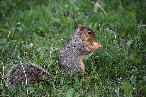 Squirrel, Peanut, Wildlife, Paws, Feeding, Nature
