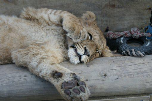 Lion, Animal, Cat, Sleep, Cute, Playful, Resting, Paw
