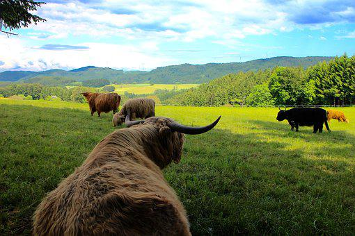 Cattle, Cows, Highland Beef, Scotland, Black Forest