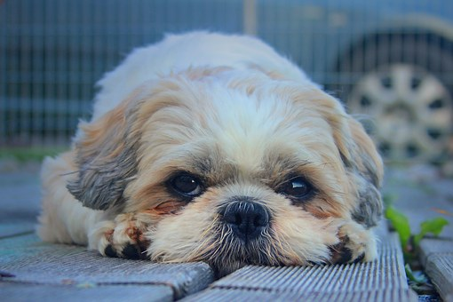 Dog, Shih Tzu, Pet, Cute, Dog Look, Knuffig, Paws