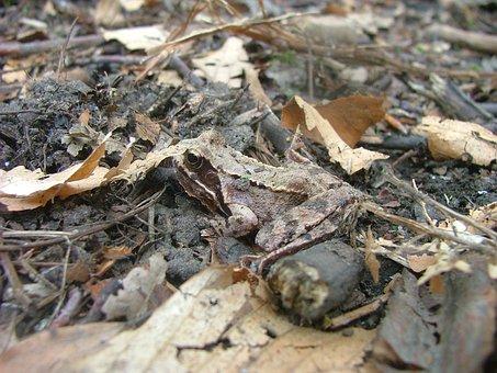 Avar, Subalpine Forest Frog, Mátraszentimre