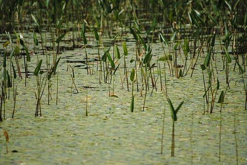 Swamp, Marsh, Flora, Pond, Wetland, Bog, Habitat, Green