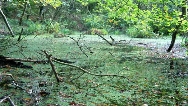 Swamp, Bog, Water, Pond, Green, Outdoors, Marshes