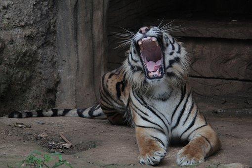 Indonesia, Tiger, Panthera, Sumatran, Tigris, Wildlife