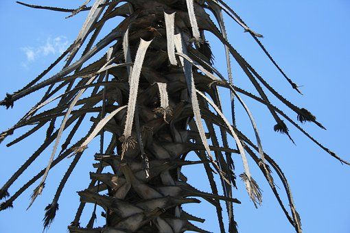 Tree, Palm, Trunk, Stubs, Stalks, Scales, Leaf Remnants