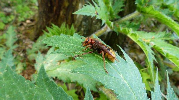 Hornet, Vespa Crabro, Vespidae Stubs, Forest