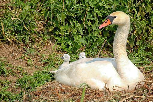 Swan, Baby Swans, Waterfowl, Nest, Bernhard Klepel