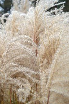 Wheat, Grass, Cattail, Nature, Plants, Soft, Texture