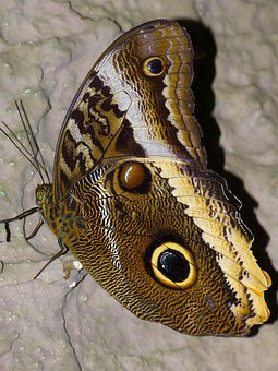 Butterfly, Noctuinae Stubs, Probe, Fly, Wing, Animal