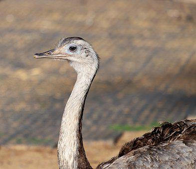 Rhea Bird, Big Bird, Flightless Bird, Bird, Animal