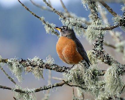 Wildlife, Bird, Nature, Animal, Songbird, Robin, Spring