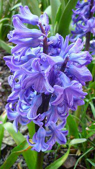 Spring Flower, Hyacinth, Blossom, Bloom, Blue