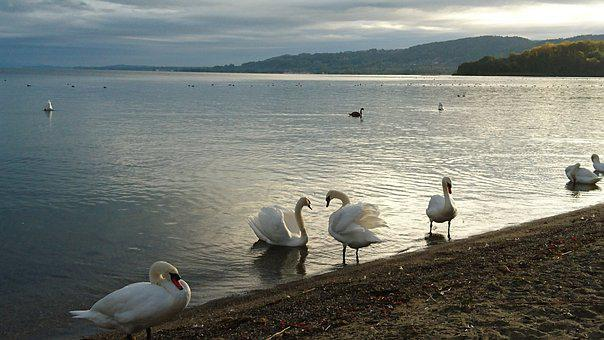 Bird, Body Of Water, Lake, Nature, Swan, Yvonand, Water