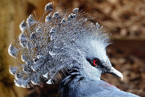 Crowned Pigeon, Birds, Crowned, Wildlife, Nature