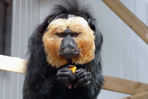Saki Monkey, Sakis, Monkey, Face, Eyes, Nature, Black