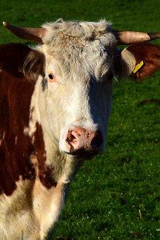 Farm, Mammal, Animals, Animal, Cow, Head, Cow Head