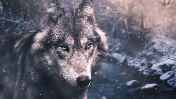 Nature, Mammal, Animal, Wildlife, Wolf, Winter, Wild