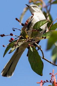 Cuba, Havana, Bird, Sinsonte, Tree, Nature, Outdoors