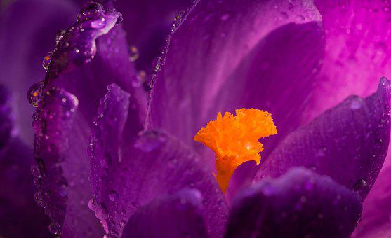 Krokus, Flower, Rain Drops, Macro