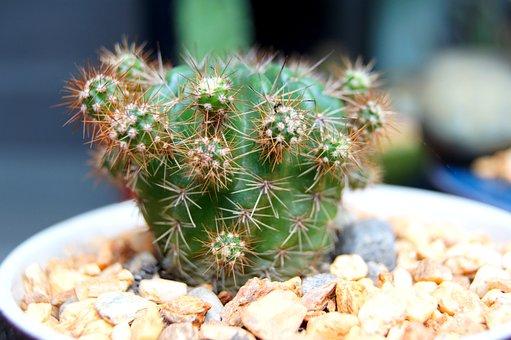 Cactus, Closeup, Succulent, Dry, Spine, Thorns, Prickly
