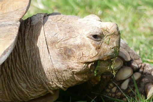 Turtle, Tortoise, Reptile, Nature, Animal, Wildlife