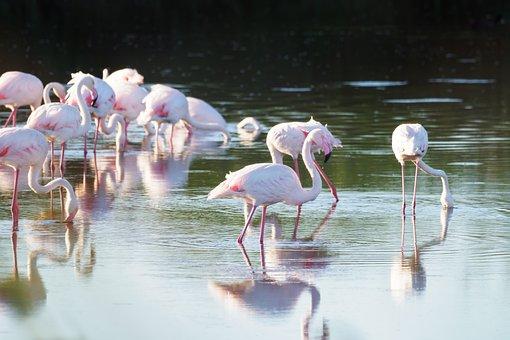 Greater Flamingos, Flamingo, Birds, Pink, Nature, Water