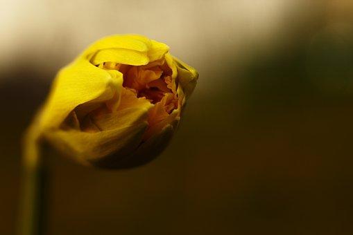 Spring, Daffodil, Flower, Yellow, Nature, Macro