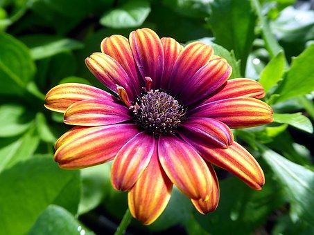 Flower, Osteospermum, Asteraceae, Orange, Violet
