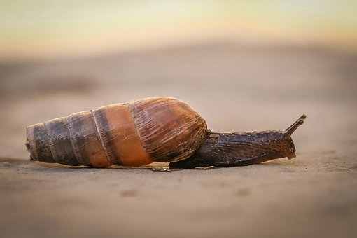 Shellfish, Slowly, Bauchfuesser, Snail, Evertebrat