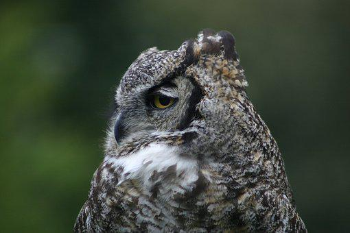 Wildlife, Nature, Animal, Bird, Outdoors, Owl, Predator