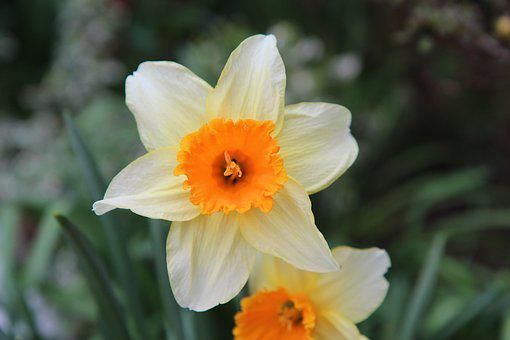 Narcissus, Daffodil, Flower, Flowering, Spring