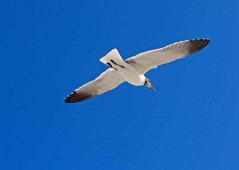 Nature, Outdoors, Sky, Seagulls, Bird, Flight, Wildlife