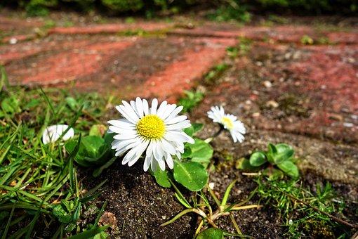 Common Daisy, Lawn Daisy, Daisy, Flower