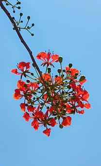 Flamboyant, Red, Tree, Flame Of The Forest, Flower