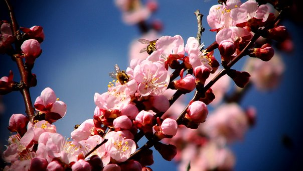 Flowers, Apricot, Bee, Fruit
