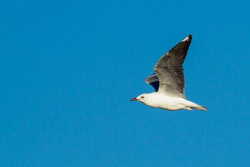 Hartlaub's Gull In Flight, Bird, Seagull, Sky, Flying