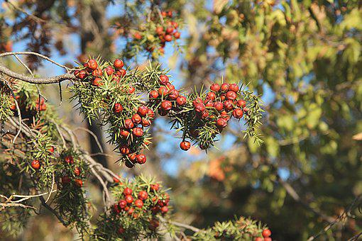 Tree, Juniper, Forest, Branch, Berry, Nature