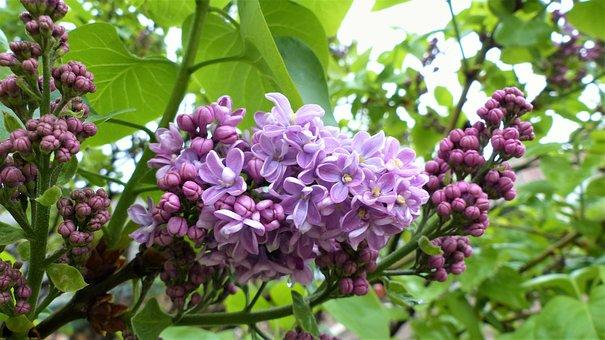 Nature, Plant, Flower, Garden, Leaf, Lilac, Green