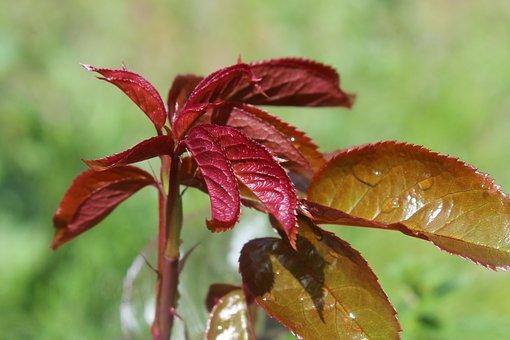 Leaf, Nature, Rosebush, Plant, Red, Outbreak