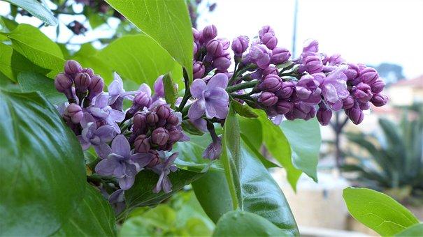 Nature, Flower, Plant, Leaf, Garden, Lilac, Violet