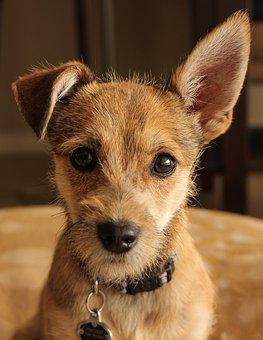 Cute, Dog, Canine, Animal, Pet, Puppy, Breed, Adorable