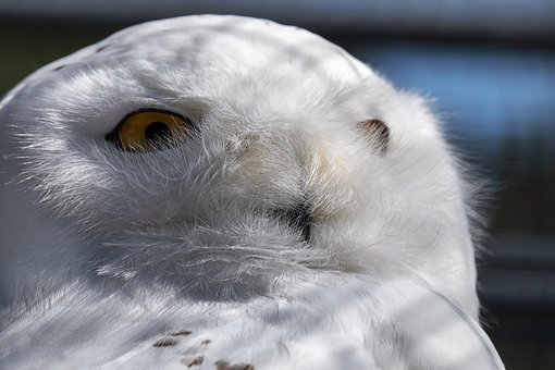 Snowy Owl, Owl, Bird, Portrait, Raptor, Attention, Head