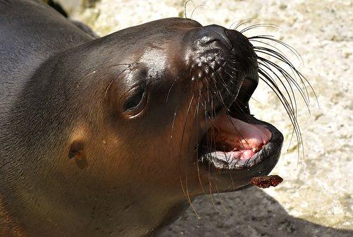 Seal, Sea Lion, Eat, Swim, Water, Robbe, Meeresbewohner