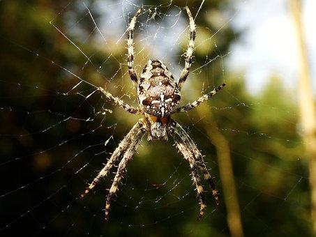 Spider, Arachnid, Spider's Web, Insect, Nature, Animals