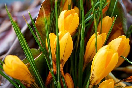 Crocus, Yellow, Flower, Frühlingsblüher, Spring, Close