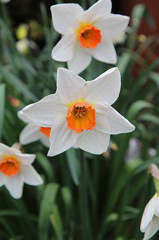 Narcissus, Daffodil, Spring, Flowering
