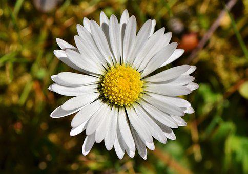 Daisy, Geese Flower, Spring, Blossom, Bloom, Flower