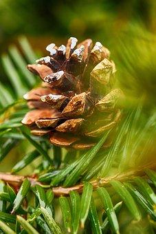 Cone, Nature, Tree, Evergreen, Pine, Pine Needle